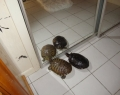 Klien's turtles